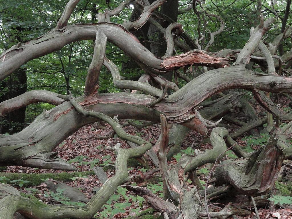 Коряга из леса