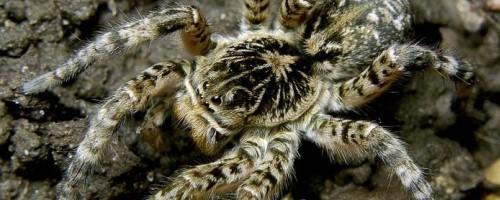 Южнорусский тарантул, описание и содержание дома