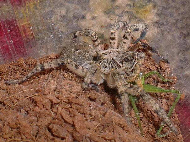 Содержание тарантула у домашних условиях 40