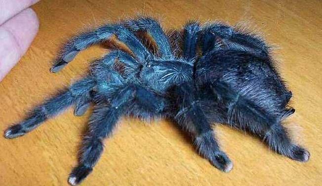 паук птицеед описание и фото